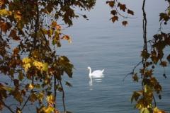 Cygne sur le Lac Léman - Genève