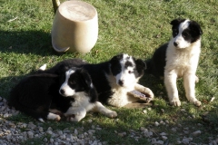 Chiots border collies - 12/2008