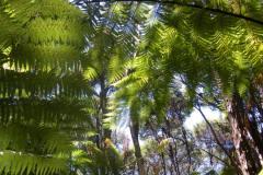 Silver ferns - Nouvelle-Zélande