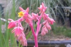 Fleurs d'echeveria