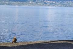 Oiseau - Lac Léman -  09/2019